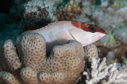 BD-150226-Sharm-6972-Epinephelus-fasciatus-(Forsskål.-1775)-[Blacktip-grouper.-Guldgrouper].jpg